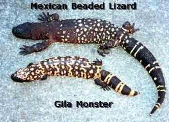 inde,lézards,vénéneux,geckos