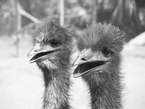 Emeu farming_6.jpg