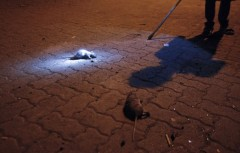 inde,mumbai,rats,tueurs de rats,bandicoot,bidonville