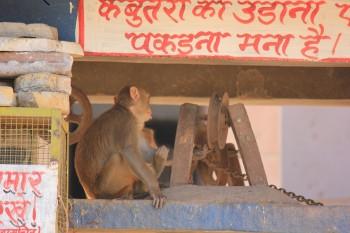 Working monkey.jpg