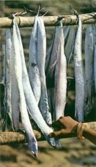 bombay duck,bangda,harpodon neherius,mumbai,inde,poisson,pêche,saison,traitement,séchage,nom,koli,pêcheurs,possonnier,purnima narial,ordralfabétix,astérix et la grand traversée,astérix et le devin