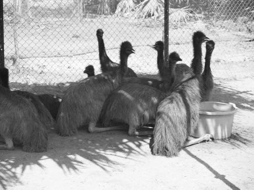 Emeu farming_7.jpg