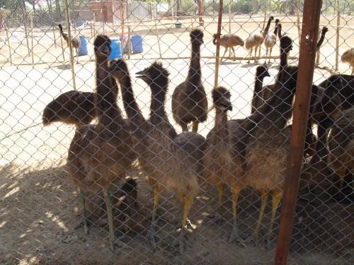 Emeu farming_3.jpg