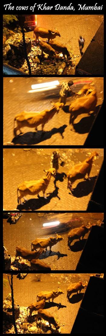 inde,vache,viande,vaches dans les rues,vaches de temple,lait,euthanasie,tuer une vache,vieilles vaches,abandon,intouchables,bufflone,vaches laitières