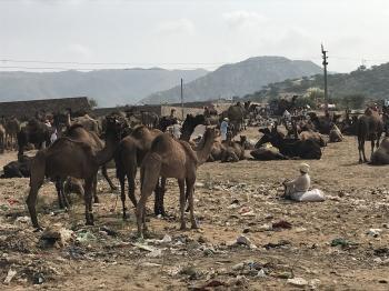 Inde,Pushkar,rajasthan,camel fair,chameaux,ville sainte,chevaux,bétails